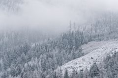 Winter wallpaper, pine trees covered with snow. Moody winter wallpaper, pine trees covered with snow, alpine landscape, nature in wintertime Royalty Free Stock Photos