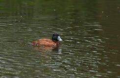 Mooi Argentijns Ruddy Duck, Oxyura-vittata, die op een rivier in het UK zwemmen stock foto's
