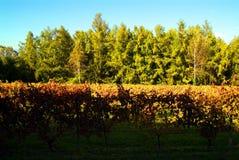 Mooi Autumn Landscape With Multi-Colored Lines van Wijngaardenwijnstokken Autumn Color Vineyard Royalty-vrije Stock Afbeeldingen
