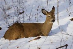 Mooi beeld met de leuke wilde herten die op de sneeuw leggen Royalty-vrije Stock Afbeelding