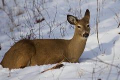 Mooi beeld met de leuke wilde herten die op de sneeuw leggen Royalty-vrije Stock Foto's