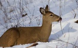 Mooi beeld met de wilde herten op de sneeuw die opzij en de tong tonen eruit zien Stock Afbeelding