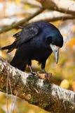 Mooi beeld van een vogel - raaf/kraai in de herfstaard (Corvus-frugilegus) Royalty-vrije Stock Afbeelding