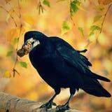 Mooi beeld van een vogel - raaf/kraai in de herfstaard (Corvus-frugilegus) Royalty-vrije Stock Foto's