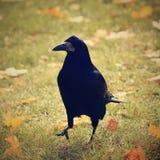 Mooi beeld van een vogel - raaf/kraai in de herfstaard (Corvus-frugilegus) Royalty-vrije Stock Afbeeldingen