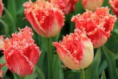 Mooi beeld van perzik-gekleurde tulpen met omzoomde bloemblaadjes royalty-vrije stock fotografie