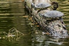 Mooi beeld van twee schildpadden op een boomboomstam in een meer royalty-vrije stock foto's