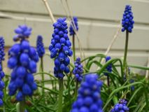 Mooi Blauw Hyacinth Spring Flowers royalty-vrije stock afbeelding