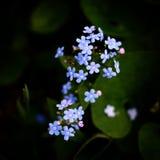 Mooi blauw vergeet weinig me niet bloemen Royalty-vrije Stock Afbeeldingen