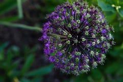 Mooi bloei purper allium royalty-vrije stock afbeeldingen