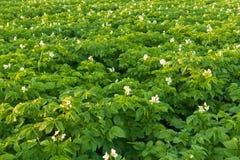 Mooi bloeiend aardappelgebied met bloemen Royalty-vrije Stock Foto's