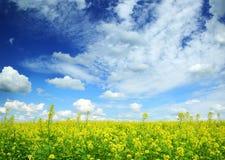 Mooi bloeiend raapzaadgebied onder blauwe hemel royalty-vrije stock afbeelding