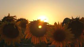 Mooi bloeiend zonnebloemgebied in de stralen van een mooie zonsopgang Close-up ecologisch schoon gewas van zonnebloem stock videobeelden