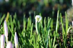 Mooi bloeit solo in het midden van beeld Het wordt genoemd als sneeuwklokje royalty-vrije stock afbeelding