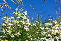 Mooi bloembed van margarites en sommige bezige insecten Stock Fotografie