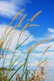 Mooi bloemgras met blauwe hemel Royalty-vrije Stock Foto's