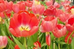 Mooi boeket van tulpen Stock Fotografie