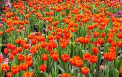 Mooi boeket van tulpen kleurrijk in de lente Royalty-vrije Stock Afbeeldingen
