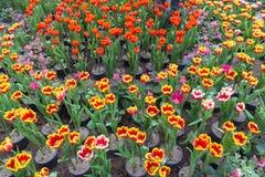 Mooi boeket van tulpen kleurrijk in de lente Stock Foto