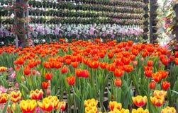 Mooi boeket van tulpen kleurrijk in de lente Stock Afbeeldingen