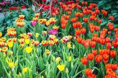 Mooi boeket van tulpen kleurrijk in de lente bij de tuin Stock Foto's