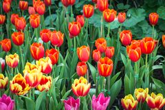 Mooi boeket van tulpen kleurrijk in de lente bij de tuin Stock Afbeeldingen