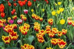 Mooi boeket van tulpen kleurrijk in de lente bij de tuin Royalty-vrije Stock Afbeeldingen