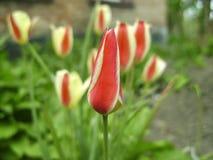 Mooi boeket van tulpen kleurrijke tulpen die op de tuin groeien Tulpen in de lentezon De achtergrond van bloemtulpen Stock Afbeeldingen