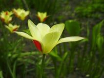 Mooi boeket van tulpen kleurrijke tulpen die op de tuin groeien Tulpen in de lentezon De achtergrond van bloemtulpen Royalty-vrije Stock Foto's