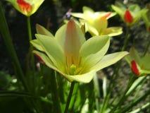 Mooi boeket van tulpen kleurrijke tulpen die op de tuin groeien Tulpen in de lentezon De achtergrond van bloemtulpen Royalty-vrije Stock Fotografie