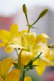 Mooi boeket van verse gele lelies De close-up van bloemen Royalty-vrije Stock Afbeeldingen