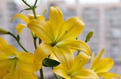 Mooi boeket van verse gele lelies De close-up van bloemen Stock Fotografie
