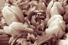 Mooi boeket van verse kleurrijke roze purpere tulpenbloemen De kaart van de groet stock afbeelding