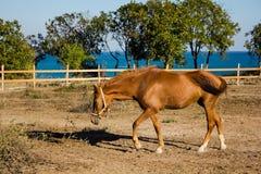 Mooi Bruin Paard Royalty-vrije Stock Foto's