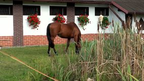 Mooi bruin paard die groen gras weiden stock footage