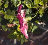 Mooi cerise roze enige hibiscusbloem in de zomerbloei Stock Afbeelding