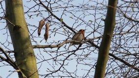Mooi Correct Rood Robin Song Bird Singing Close omhoog door Takken & Bladeren stock footage