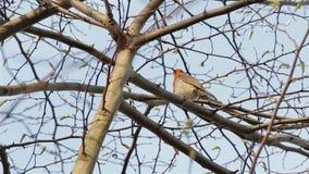 Mooi Correct Rood Robin Song Bird Singing Close omhoog door Takken & Bladeren stock videobeelden