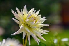 Mooi dahliaclose-up dat bloeit stock foto