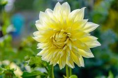 Mooi dahliaclose-up dat op een zonnige dag bloeit stock afbeelding