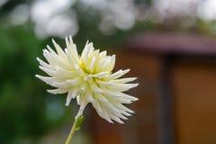 Mooi dahliaclose-up dat op een zonnige dag bloeit royalty-vrije stock foto