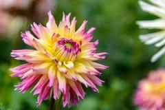 Mooi dahliaclose-up dat op een zonnige dag bloeit stock afbeeldingen