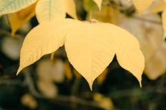 Mooi de herfstlandschap met gele Tak en zon Kleurrijk gebladerte in het park Bladeren natuurlijke achtergrond royalty-vrije stock afbeelding