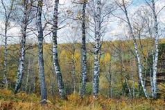 Mooi de herfstlandschap met heel wat berkboomstammen op achtergrond van ver bos stock fotografie