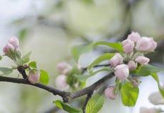 Mooi de lente bloemenpatroon Een tak van roze knoppen Royalty-vrije Stock Foto's