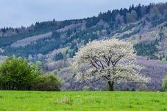 Mooi de lentelandschap De witte bomen van de bloemenkers op aardig weidehoogtepunt van groen gras Blauw hemel en majesteitsbos op Royalty-vrije Stock Afbeeldingen
