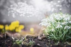 Mooi de lentetuin of park met sneeuwklokjesbloemen, openluchtaard royalty-vrije stock afbeelding