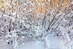 Mooi de winterlandscape Snow-covered takken van struiken in het licht van zonsondergang, kunnen als achtergrond of textuur worden royalty-vrije stock foto
