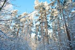 Mooi de winterlandschap met sneeuw behandelde bomen - zonnige de winterdag Stock Foto