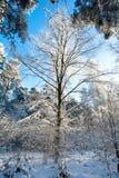Mooi de winterlandschap met sneeuw behandelde bomen - zonnige de winterdag Royalty-vrije Stock Fotografie